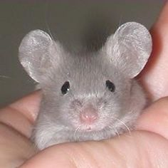 Mousykins Mousery - Pet and show mice in Northeastern Ohio