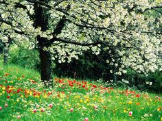 Summer Time - white tree blossoms & red flowers