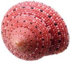 Resultado de imagen de caracolas de mar