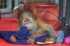 Orphan baby Orang-utans graduate to Monkey World crèche Orangutan Monkey, Chimpanzee, Orangutans, Animals And Pets, Baby Animals, Cute Animals, Monkey World, Ape Monkey, Monkey Business