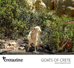 A holy goat in a holy gorge. Meet him at the exotic Martsalo Gorge in #Crete: http://cretazine.com/en/crete/travel-explore/island-routes/item/1267-the-holy-vibes-of-martsalo
