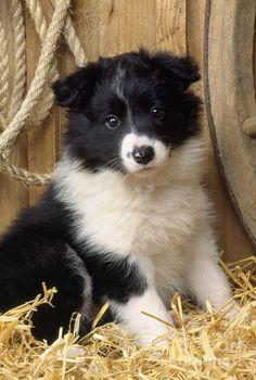 Border Collie Puppy Dog Photograph