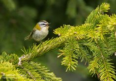 Birding stories: birdwatching and photography trips: Firecrest photography