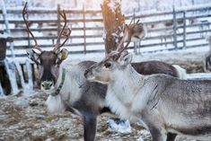 Reindeer herd, in winter, Lapland, Northern Finland Budget Travel, Travel Guide, Finland Travel, Island Park, Arctic Circle, Cross Country Skiing, Europe Destinations, Local History, Winter Travel
