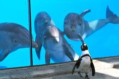 Dolphins seeing their first penguin