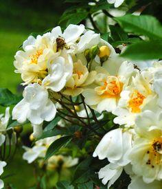 Honungsros (Rosa helenae 'Hybrida')
