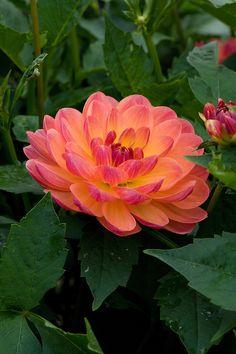 Beauty Rendezvous - (via Dahlia 'Pam Howden'   Alan Buckingham)