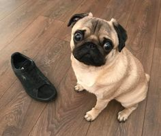 When your 'I have no idea what happened to your other shoe' face isn't very convincing  #puglife