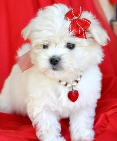 Bichon puppy in red