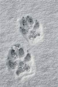 Wild at Heart Images Heart Images, Wild Hearts, Cute Pictures, Snow, Prints, Gray Wolf, Heart Beat, Wyoming, Trail