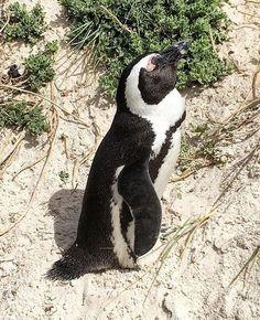 Boulders Beach Penguin Sanctuary, Table Mountain National Park #escapesnaps Picture: @meagantravelsnaps / Instagram