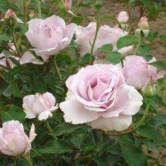 La Rose du Petit Prince                                                                                                                                                                                 Mehr