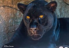 black leopard by marv larson on 500px