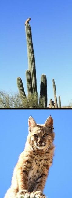 Photographer Curt Fonger captured some great images of a bobcat that climbed a saguaro Tuesday. Fonger's friend says the bobcat ran through the grounds at Smiling Dog Landscape in Gold Canyon. A mountain lion was running after the bobcat, probably looking for a breakfast on Tuesday morning. The bobcat took a risk to escape the mountain lion: a tall saguaro cactus. Fonger's friend said the bobcat clawed its way to the top of the cactus and stared back down at the mountain lion. The bobcat…