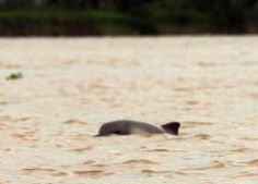 Delfin Rosado Col