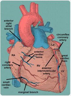 Heart Anatomy ♥ Cardiology is my favorite operations/procedures to watch♥ Medical Coding, Medical Science, Nursing School Notes, Medical School, Medical Anatomy, Cardiac Anatomy, Heart Anatomy, Cardiac Nursing, Human Anatomy And Physiology