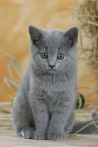 Image detail for -British Shorthair Cat, chocolatepoint