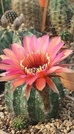 Pink cactus flower pinterest cactus flower cacti and el paso mightylinksfo