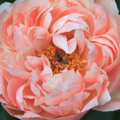 Early, mid, and late blooming herbacous peonies. How to get herbacoeus peonies to bloom longer. Peony Care, Orchid Care, Flower Show, My Flower, Peony Bush, Paeonia Lactiflora, Coral Peonies, Buy Peonies, Gardens