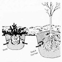 Dwarf Burning Bush - Direct Gardening