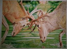 Original deer drawing by Kyrie Davenport, prismacolor colored pencil drawing