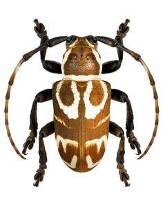 Desisopsis sp. – CERAMBYCIDAE Subfamily Lamiinae
