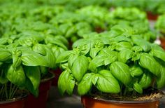 repel insects with basil plant