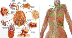 "The vagus nerve (found right behind where you typically feel for your pulse) is the longest nerve in your body. It is one of 12 cranial nerves and it extends from your brainstem all the way to your abdomen and through various organs including your heart, esophagus, and your lungs. It is sometimes called ""cranial […]"