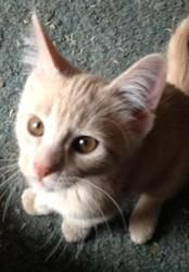 Jasper is an adoptable, male, Domestic Short Hair, buff colored, neutered, Cat in Wyoming, MN. Born 5/17/13. How I Arrived At NHS: Our mom was found as a stray and we were born in foster care.  Note From Our Foster Mom: The lone male of this 6-pack., he's a very curious cat, and he has a unique and lovable personality. He loves a good scratch and a belly rub and loves to just hang out and nuzzle up for a good snooze. Good With Kids and Cats!