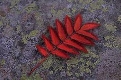 Rowan Tree leaf in fall by Lizzardpix, via Flickr Celtic Zodiac Signs, Tree Leaves, Rowan, Tatting, Tattoo Ideas, Backgrounds, Trees, Patterns, Book
