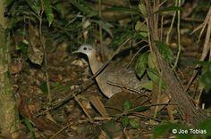 Tinamus guttatus / Witkeel tinamoe /  White-throated tinamou