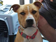 Staten Island EMPRESS – A1076231 ***DOH HOLD 06/04/16*** FEMALE, TAN / WHITE, AM PIT BULL TER MIX, 1 yr STRAY – STRAY WAIT, HOLD FOR DOH-B Reason BITEANIMAL Intake condition UNSPECIFIE Intake Date 06/04/2016, From NY 10303, DueOut Date 06/07/2016