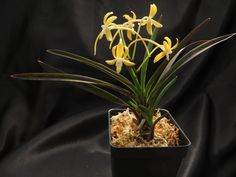Orihime 織姫 - New World Orchids Golden Star, Nice, World, Plants, The World, Plant, Nice France, Planets