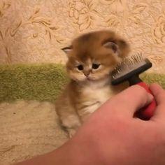 "** ""Feelz like walking billboard. Munchkin Kitten, Baby Kittens, Kittens Cutest, Cats And Kittens, Cute Cats And Dogs, Cool Pets, Cute Baby Animals, Animals And Pets, Saint Yves"
