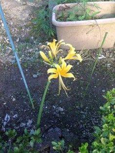 送迎中のお宅で珍しい色の 彼岸花を見ました 黄色の彼岸花 一般的には赤い彼岸花ですが 珍しかったのでパシャリ   #山都町 #お花 #秋  tags[熊本県]