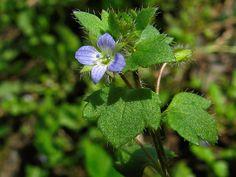 Nahuby.sk - Fotografia - veronika brečtanolistá Veronica hederifolia L.
