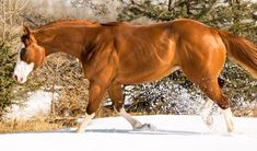 AWESOMES DBL THREAT - STANDING AT STUD IN ALBERTA - 2014 AQHA/APHA SORREL OVERO STALLION: Standing at Stud AQHA/APHA Double Registered Sorrel Overo, Stands 15.3 hands, 5 Panel Negative , OLWS Negative, Canadian Quarter Horse Weanling Champion.