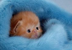 A fluffy orange kitten snuggled in a fuzzy, blue blanket.