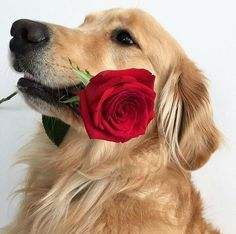 (notitle) - pugs and dogs! Cut Animals, Cute Baby Animals, Animals And Pets, Cute Dogs And Puppies, Pet Dogs, Doggies, Cute Dog Wallpaper, Best Dogs For Families, Dogs Golden Retriever