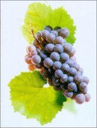 Deutsche Weine   Grauer Burgunder  