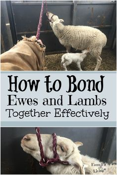 Do you have a ewe not accepting a lamb? Here are some tips on how to bond ewes and lambs together effectively when that first-time bond is broken. #homesteadlivestock #homesteading #raisingsheep