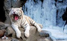 planos de fundo, tigre, bocejando, branco