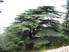 The oldest cedar tree in Lebanon: about 3000 years old.