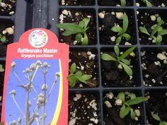Baby Rattlesnake Master (Eryngium yuccifolium) Wildflower Farm