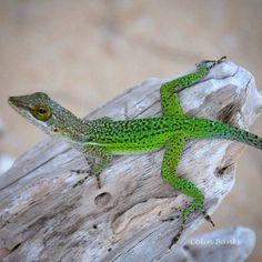 Lizard in Antigua by Colin Banks with @iwatermark