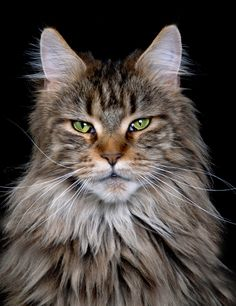 Maine Coon Cat...the only true American Cat!! Awesome and large!!