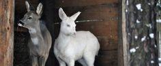 krávy albíni - Hledat Googlem