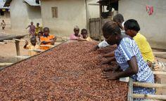 Handelspartner Kuapa Kokoo, Ghana Ghana, Fair Trade, Cocoa, The Originals, Amazon, Beverage, Africa, Riding Habit, Theobroma Cacao