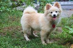 Ziggy is an adoptable Pomeranian Dog in Manchester, NH. 8/31/12 PUPDATE! Ziggy is an adorable Pom pup. He is a well socialized, 4 1/2 month old, 12 lb pup. He has been neutered, has age appropriate va...