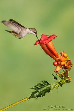 Winged Jewel! Ruby-throated Hummingbird on Trumpet Vine flower.